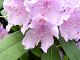 L�g Rhododendron puslespil